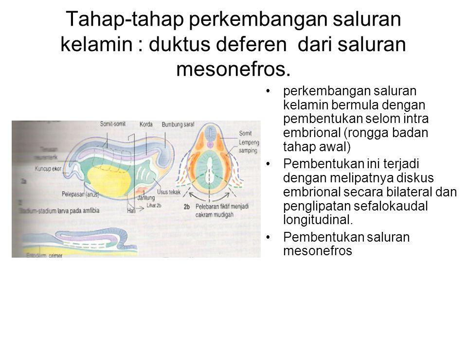 Tahap-tahap perkembangan saluran kelamin : duktus deferen dari saluran mesonefros. perkembangan saluran kelamin bermula dengan pembentukan selom intra