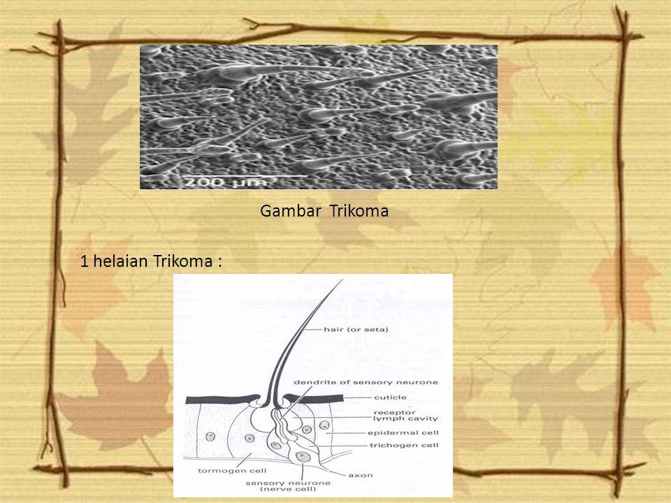 2.Trikoma Trikoma berasal dari sel-sel epidermis, terdiri atas sel tunggal atau banyak sel.Struktur yang menyerupai trikoma tetapi lebih besar dan ter