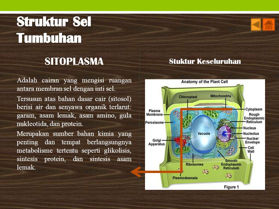SITOPLASMA Adalah cairan yang mengisi ruangan antara membran sel dengan inti sel. Tersusun atas bahan dasar cair (sitosol) berisi air dan senyawa orga