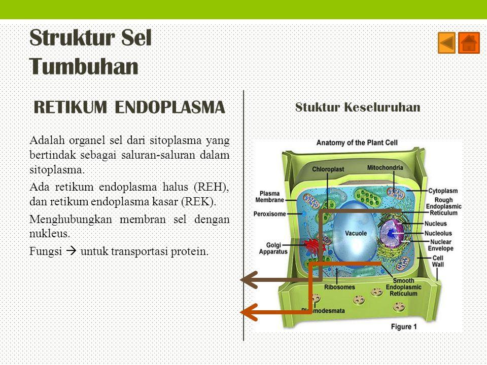 Struktur Sel Tumbuhan RETIKUM ENDOPLASMA Adalah organel sel dari sitoplasma yang bertindak sebagai saluran-saluran dalam sitoplasma. Ada retikum endop