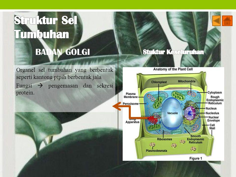 BADAN GOLGI Organel sel tumbuhan yang berbentuk seperti kantong pipih berbentuk jala Fungsi  pengemasan dan sekresi protein.