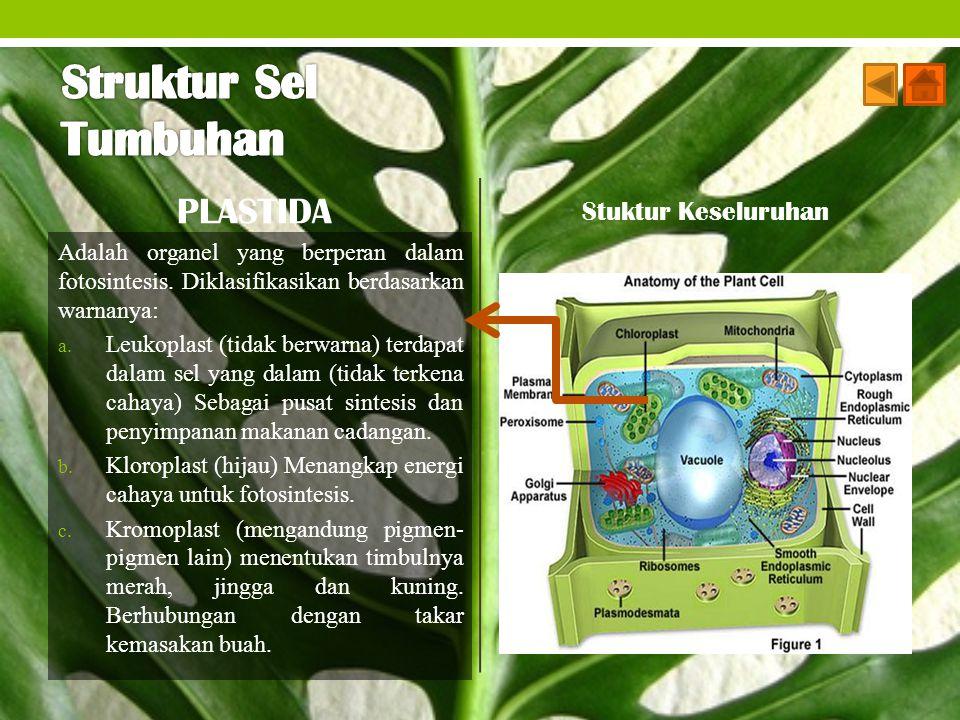 PLASTIDA Adalah organel yang berperan dalam fotosintesis. Diklasifikasikan berdasarkan warnanya: a. Leukoplast (tidak berwarna) terdapat dalam sel yan