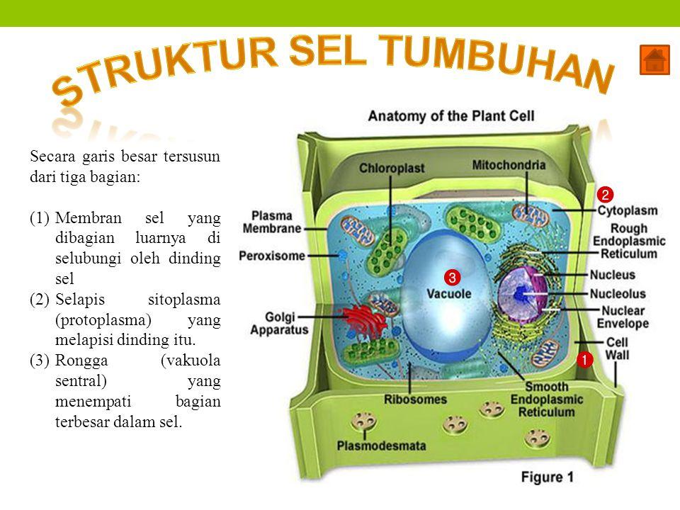 Secara garis besar tersusun dari tiga bagian: (1)Membran sel yang dibagian luarnya di selubungi oleh dinding sel (2)Selapis sitoplasma (protoplasma) y