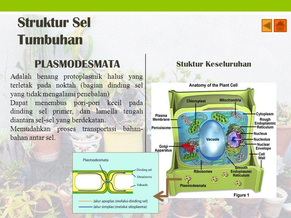 Struktur Sel Tumbuhan PLASMODESMATA Stuktur Keseluruhan Adalah benang protoplasmik halus yang terletak pada noktah (bagian dinding sel yang tidak meng