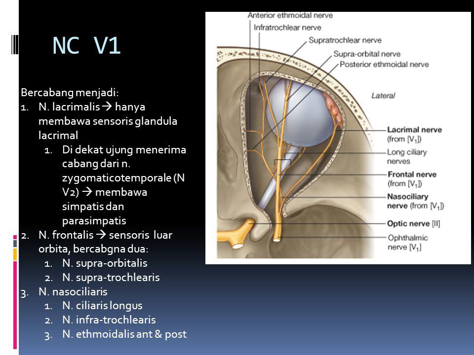 NC V1 Bercabang menjadi: 1.N. lacrimalis  hanya membawa sensoris glandula lacrimal 1.Di dekat ujung menerima cabang dari n. zygomaticotemporale (N V2