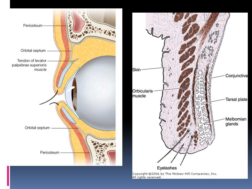  Disusun oleh (luar – dalam):  Kulit-- Septum orbitalis  Subkutan-- Tarsus dan m.