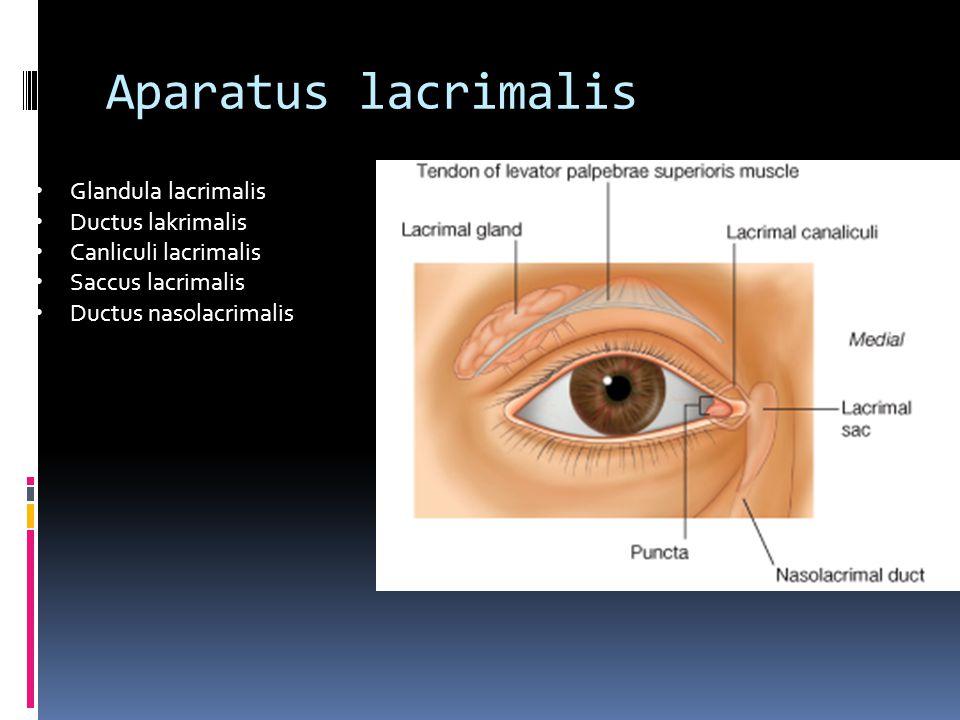 Aparatus lacrimalis Glandula lacrimalis Ductus lakrimalis Canliculi lacrimalis Saccus lacrimalis Ductus nasolacrimalis