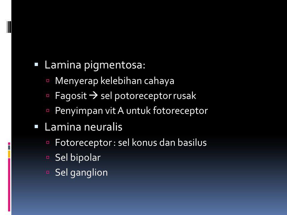  Lamina pigmentosa:  Menyerap kelebihan cahaya  Fagosit  sel potoreceptor rusak  Penyimpan vit A untuk fotoreceptor  Lamina neuralis  Fotorecep