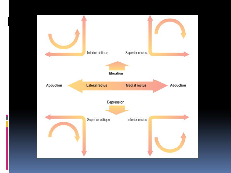 fascia orbita Periorbita  septum orbitalis + annulus tendineus communis Vagina bulbi = fascia bulbi = capsula tenon) Lemak orbita Ligamentum palpebralis: medial et lateral
