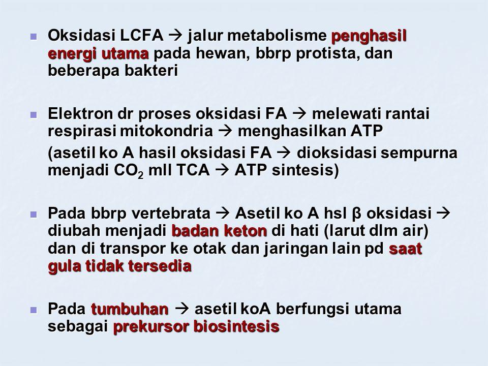 Oksidasi LCFA  jalur metabolisme penghasil energi utama pada hewan, bbrp protista, dan beberapa bakteri Oksidasi LCFA  jalur metabolisme penghasil e