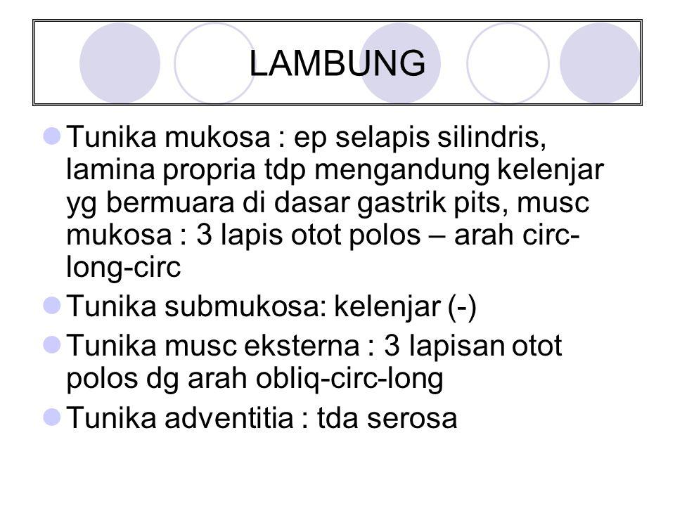 LAMBUNG Tunika mukosa : ep selapis silindris, lamina propria tdp mengandung kelenjar yg bermuara di dasar gastrik pits, musc mukosa : 3 lapis otot pol