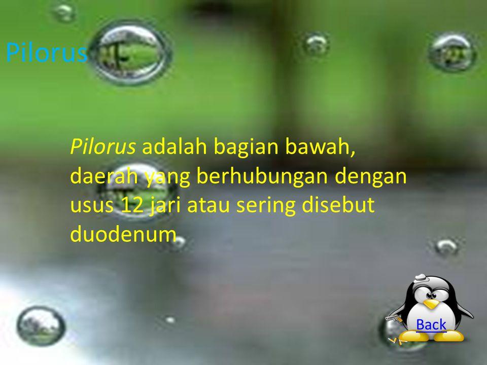 Pilorus Pilorus adalah bagian bawah, daerah yang berhubungan dengan usus 12 jari atau sering disebut duodenum Back