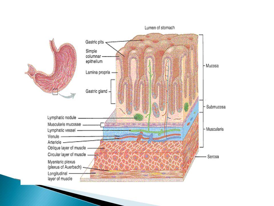  Di lapisan mucosa terdapat 3 jenis sel yang berfungsi dalam pencernaan, yaitu : 1.