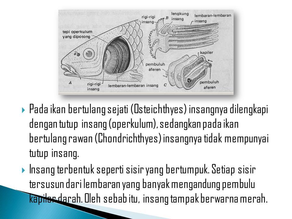  Pada ikan bertulang sejati (Osteichthyes) insangnya dilengkapi dengan tutup insang (operkulum), sedangkan pada ikan bertulang rawan (Chondrichthyes)