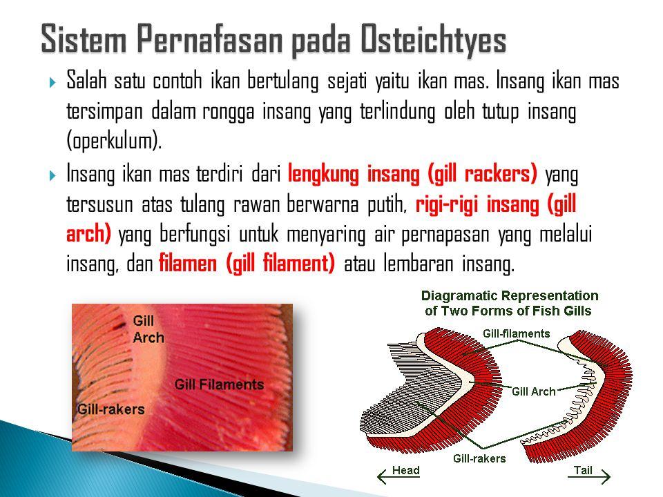  Salah satu contoh ikan bertulang sejati yaitu ikan mas. Insang ikan mas tersimpan dalam rongga insang yang terlindung oleh tutup insang (operkulum).