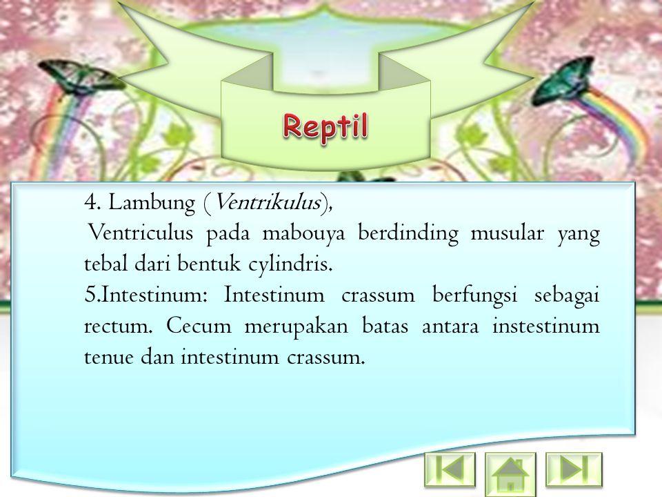 4. Lambung (Ventrikulus), Ventriculus pada mabouya berdinding musular yang tebal dari bentuk cylindris. 5.Intestinum: Intestinum crassum berfungsi seb