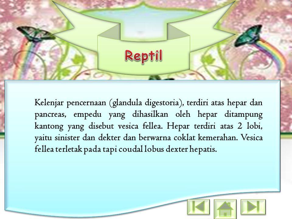 Kelenjar pencernaan (glandula digestoria), terdiri atas hepar dan pancreas, empedu yang dihasilkan oleh hepar ditampung kantong yang disebut vesica fe