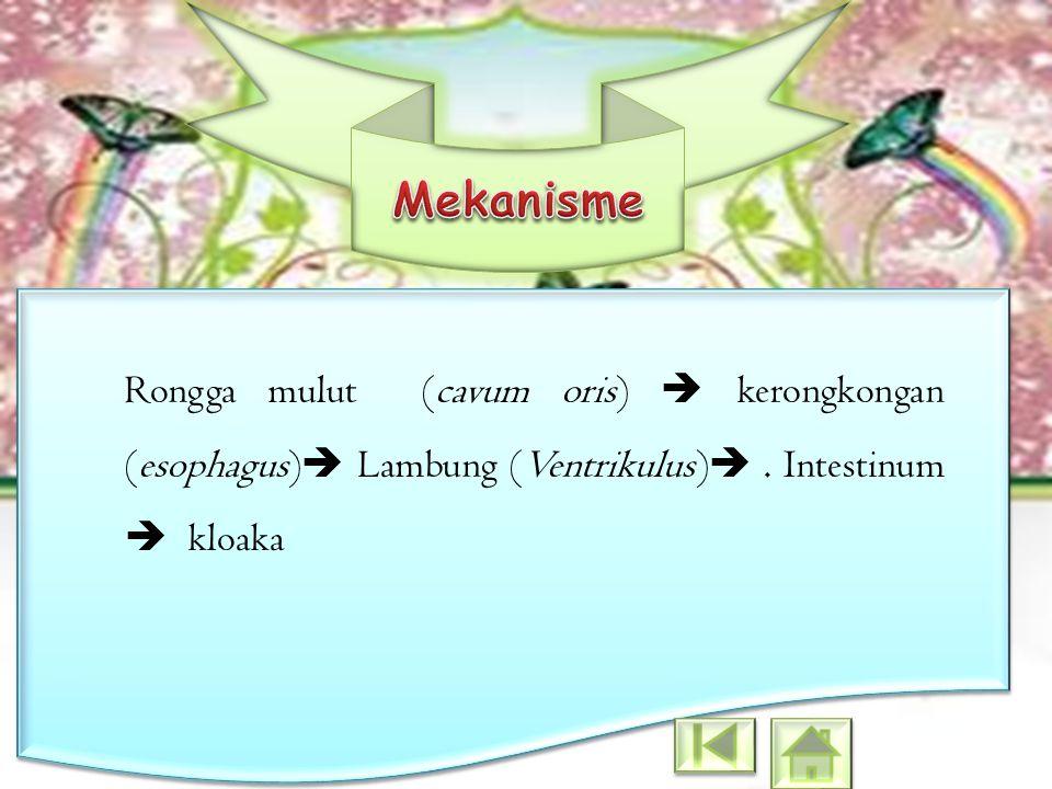 Rongga mulut (cavum oris)  kerongkongan (esophagus)  Lambung (Ventrikulus) . Intestinum  kloaka