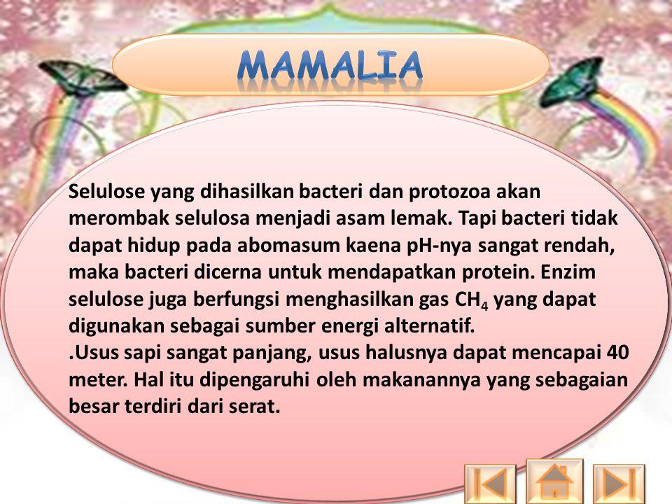 Selulose yang dihasilkan bacteri dan protozoa akan merombak selulosa menjadi asam lemak. Tapi bacteri tidak dapat hidup pada abomasum kaena pH-nya san