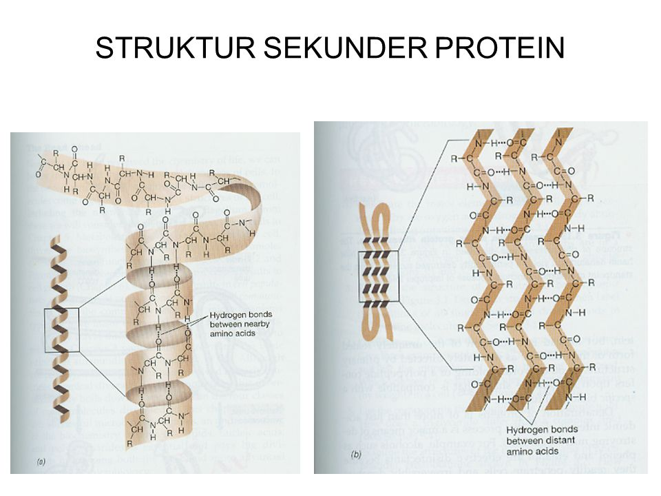 STRUKTUR SEKUNDER PROTEIN Yaitu : Bentuk 3 Dimensi Rantai Polipeptida yang meliuk – liuk membentuk : - α – Helix ( Terutama ) - β – Pleat - Random coi