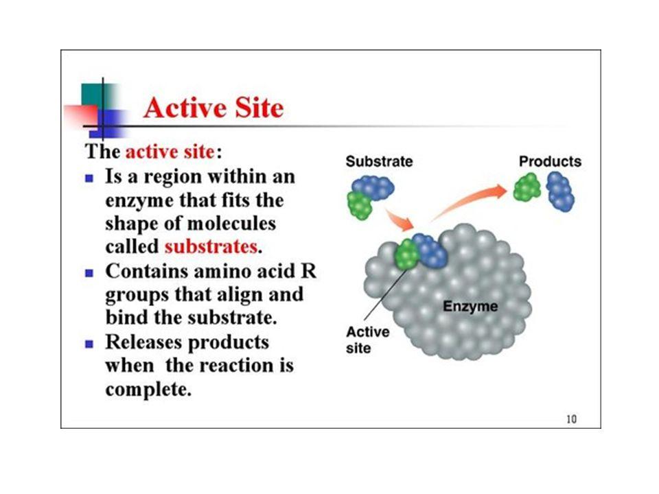 GUGUS REAKTIF PADA ENZIM Protein enzim mempunyai gugus reaktif Gugus reaktif yg berperan pada proses katalisis terletak di daerah tempat katalisis act