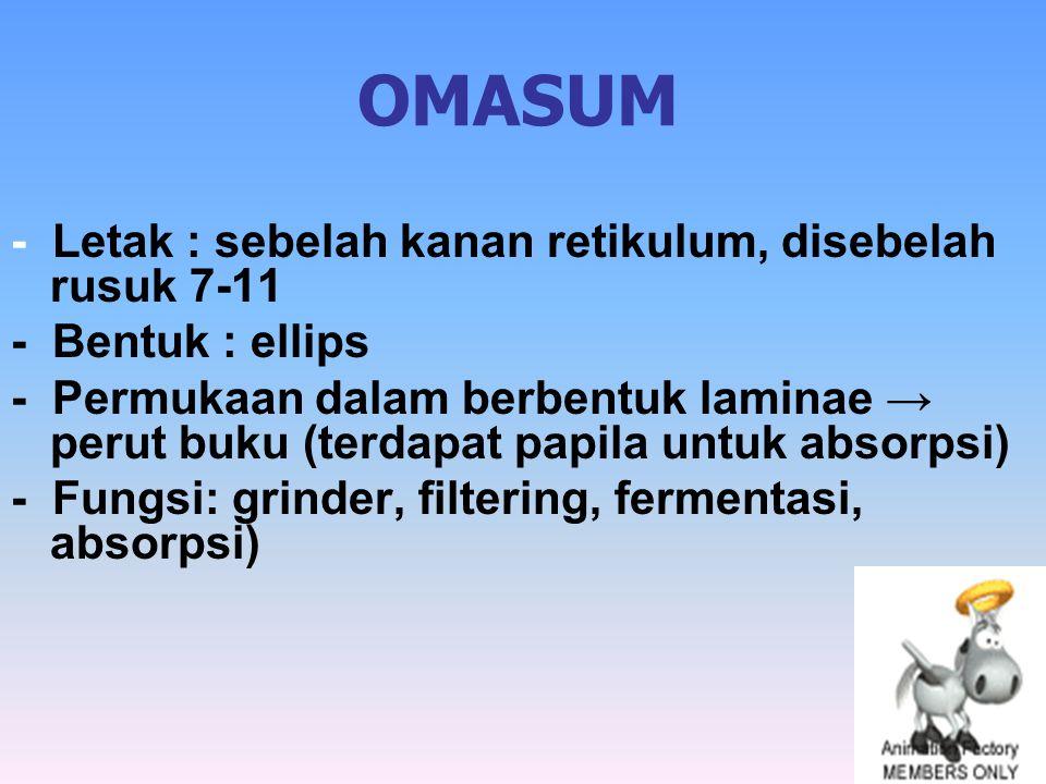 OMASUM - Letak : sebelah kanan retikulum, disebelah rusuk 7-11 - Bentuk : ellips - Permukaan dalam berbentuk laminae → perut buku (terdapat papila unt