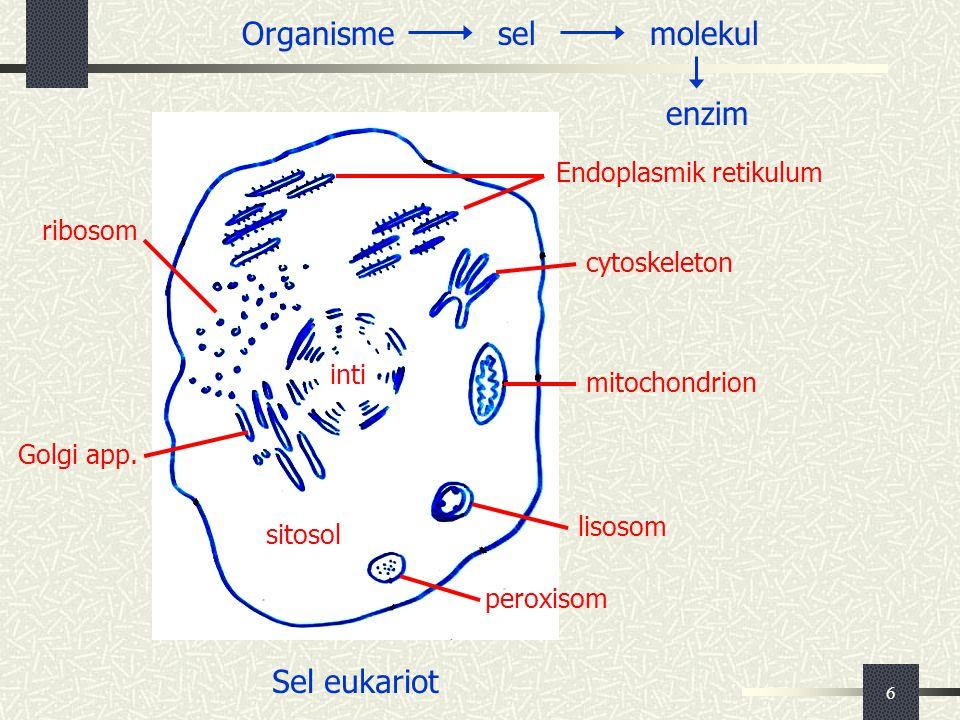 6 inti Organismeselmolekul enzim Sel eukariot sitosol Golgi app. peroxisom lisosom mitochondrion cytoskeleton ribosom Endoplasmik retikulum