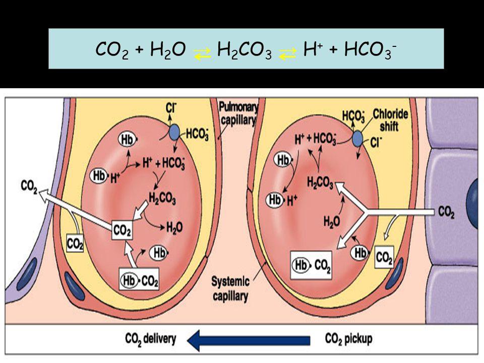 CO 2 + H 2 O → H 2 CO 3 → H + + HCO 3 -