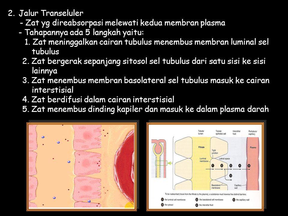 2.Jalur Transeluler - Zat yg direabsorpasi melewati kedua membran plasma - Tahapannya ada 5 langkah yaitu: 1. Zat meninggalkan cairan tubulus menembus