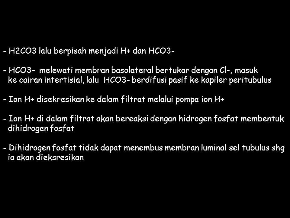 - H2CO3 lalu berpisah menjadi H+ dan HCO3- - HCO3- melewati membran basolateral bertukar dengan Cl-, masuk ke cairan intertisial, lalu HCO3- berdifusi