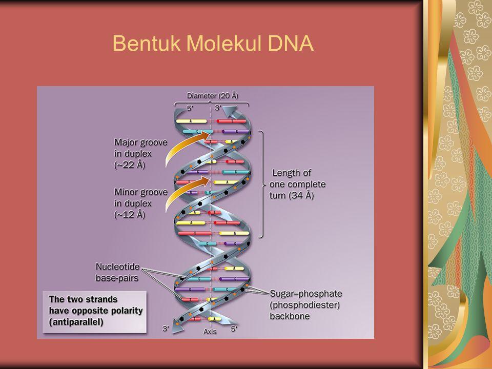 Bentuk Molekul DNA