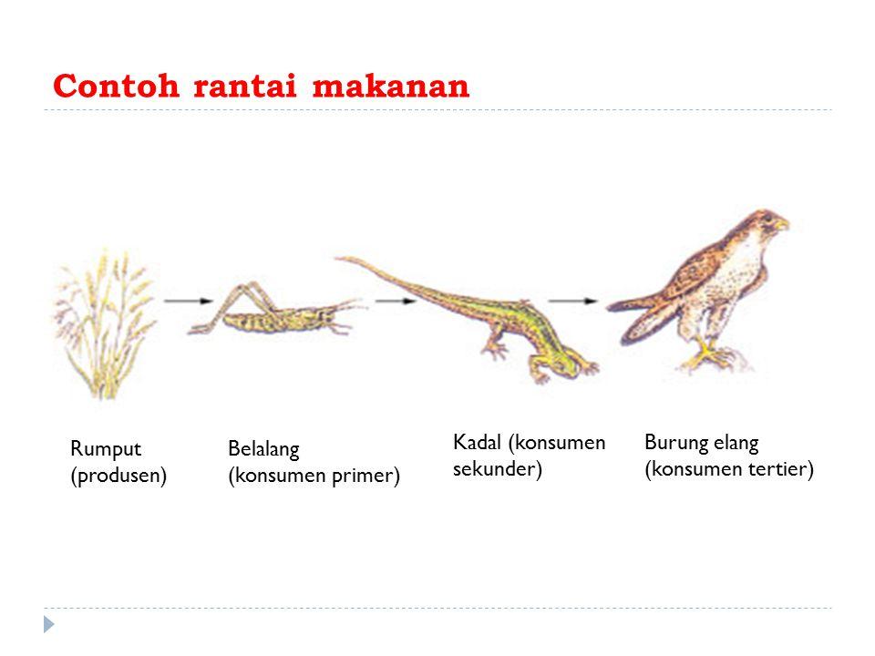 Contoh rantai makanan Rumput (produsen) Belalang (konsumen primer) Kadal (konsumen sekunder) Burung elang (konsumen tertier)