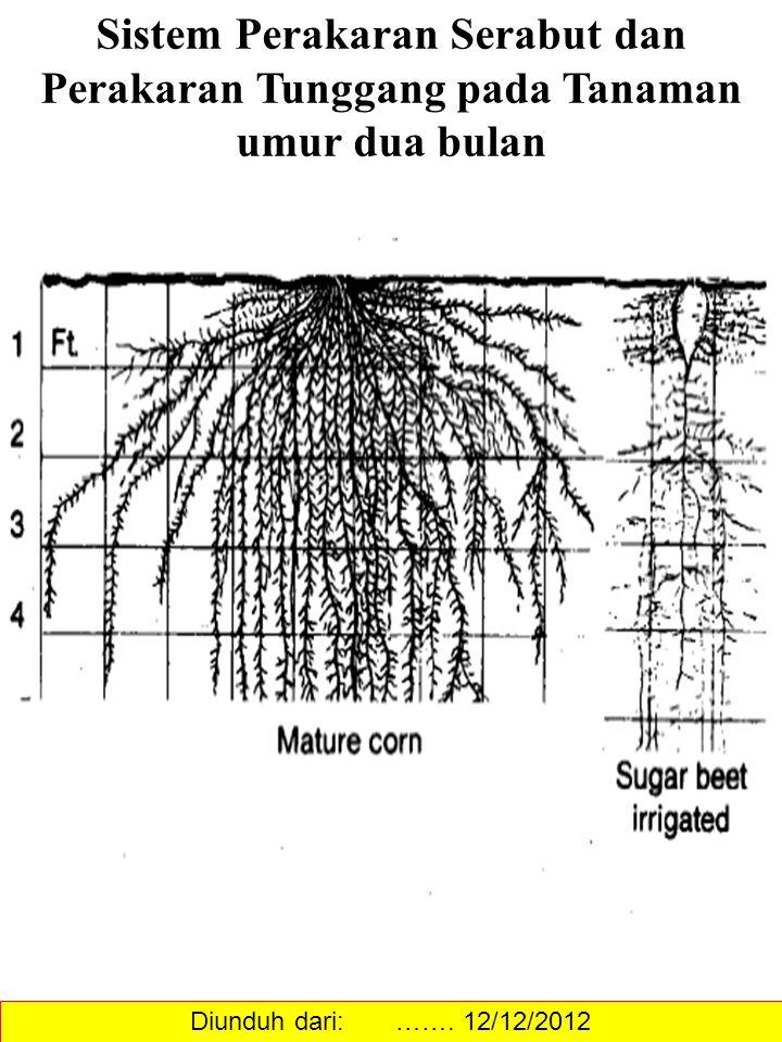 Sistem Perakaran Serabut dan Perakaran Tunggang pada Tanaman umur dua bulan Diunduh dari: ……. 12/12/2012