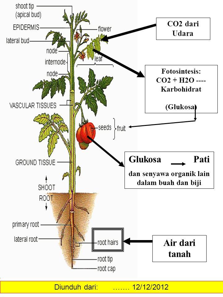 Air dari tanah CO2 dari Udara Fotosintesis: CO2 + H2O ---- Karbohidrat (Glukosa) Glukosa Pati dan senyawa organik lain dalam buah dan biji Diunduh dar