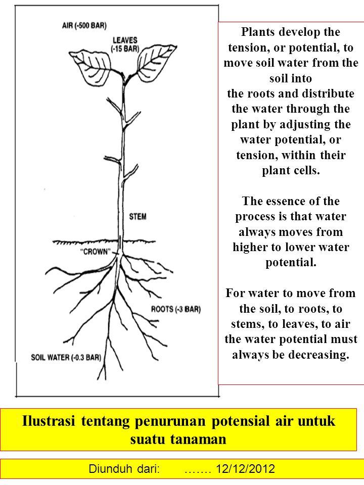 Ilustrasi tentang penurunan potensial air untuk suatu tanaman Plants develop the tension, or potential, to move soil water from the soil into the root