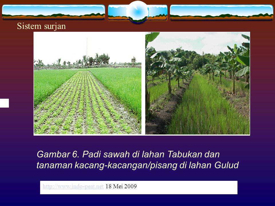http://www.indo-peat.nethttp://www.indo-peat.net 18 Mei 2009 Gambar 6. Padi sawah di lahan Tabukan dan tanaman kacang-kacangan/pisang di lahan Gulud h