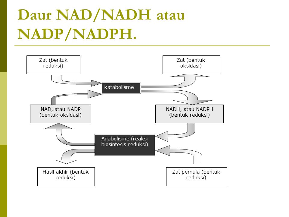 Daur NAD/NADH atau NADP/NADPH. Zat (bentuk reduksi) katabolisme NAD, atau NADP (bentuk oksidasi) NADH, atau NADPH (bentuk reduksi) Anabolisme (reaksi