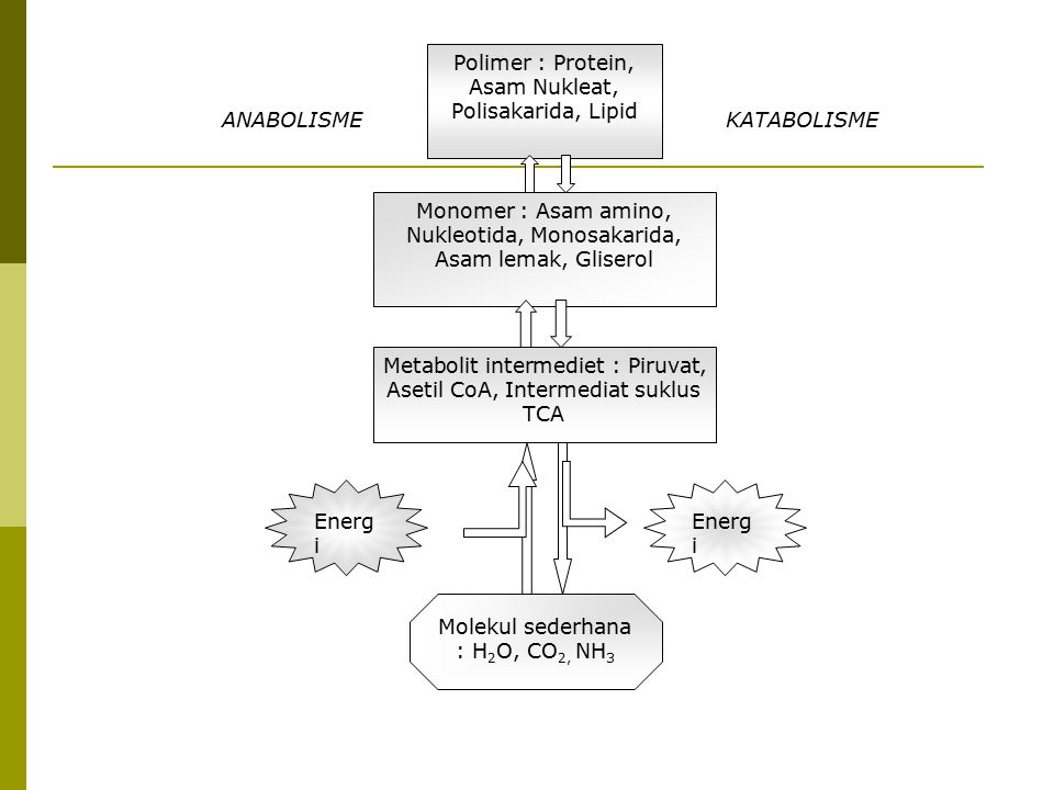 Polimer : Protein, Asam Nukleat, Polisakarida, Lipid Monomer : Asam amino, Nukleotida, Monosakarida, Asam lemak, Gliserol Metabolit intermediet : Piru