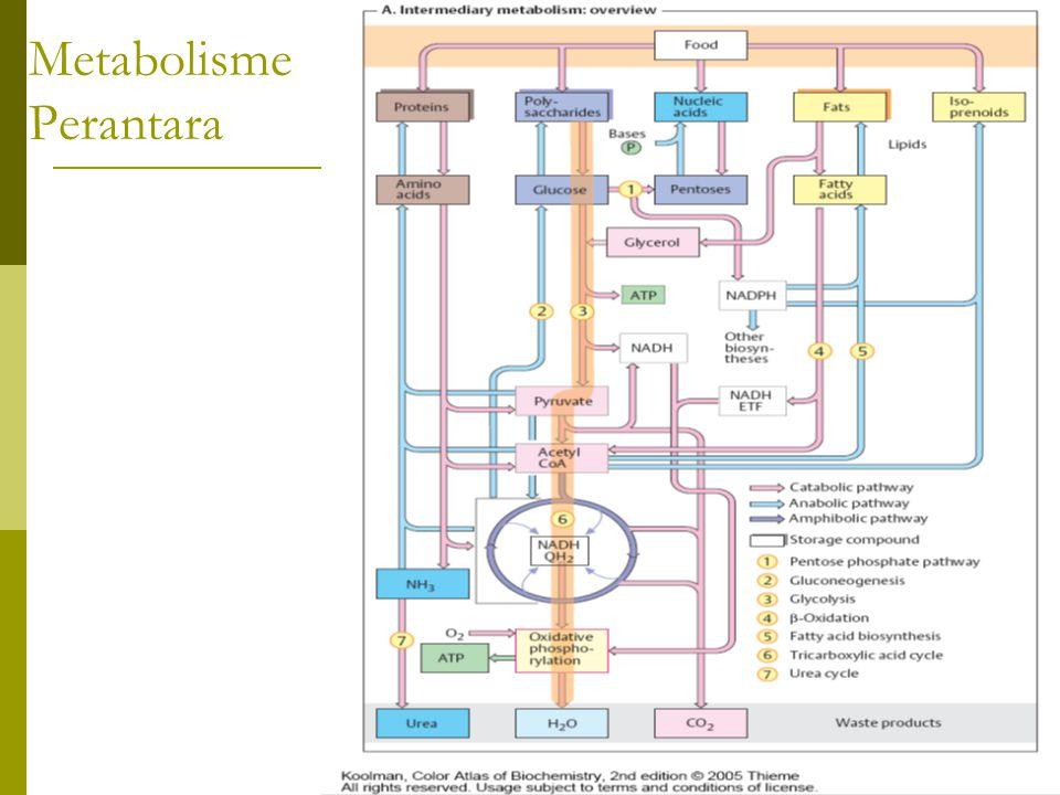 Metabolisme Perantara