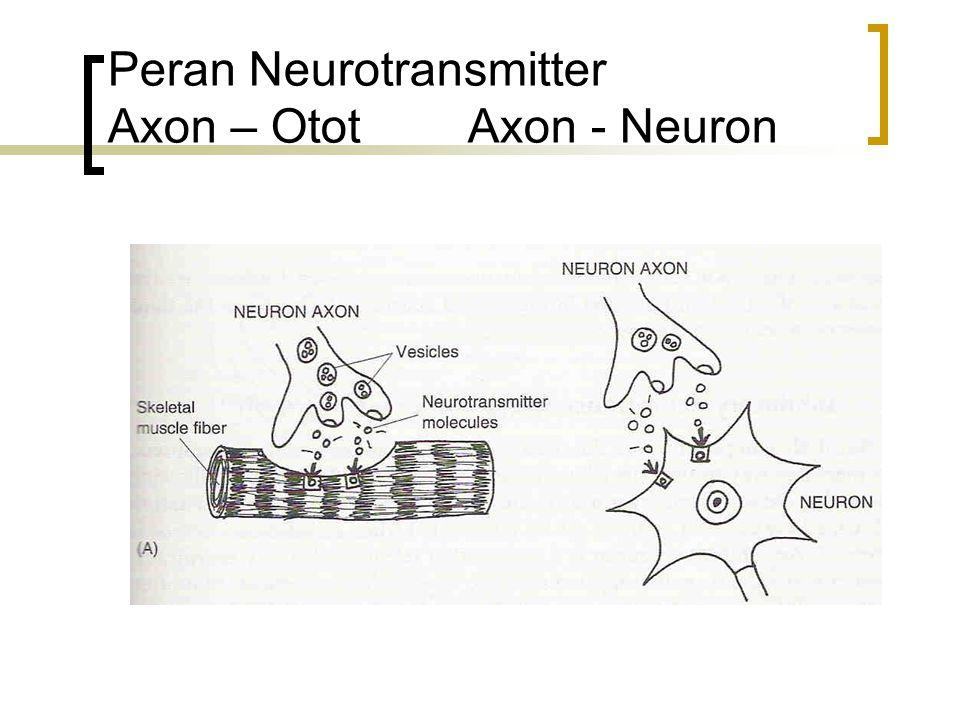 Peran Neurotransmitter Axon – Otot Axon - Neuron