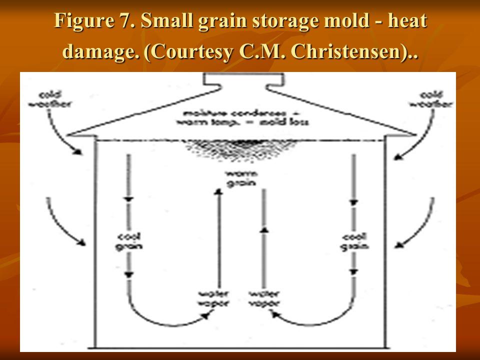 Figure 7. Small grain storage mold - heat damage. (Courtesy C.M. Christensen)..