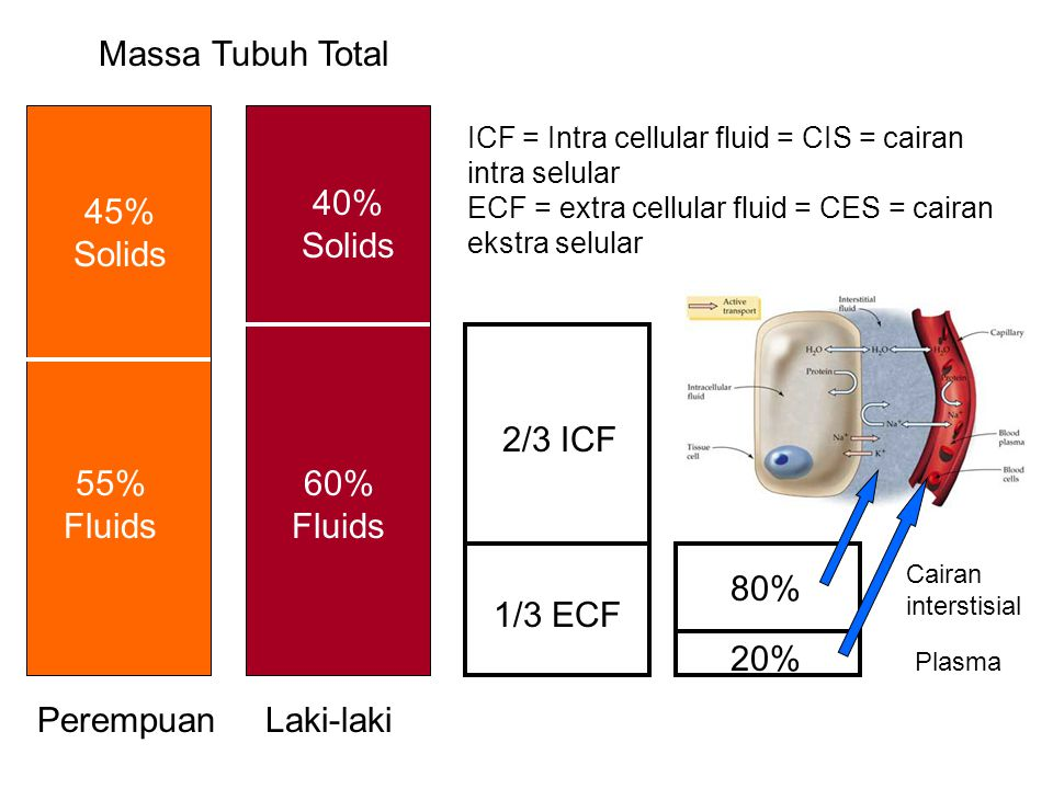 Massa Tubuh Total PerempuanLaki-laki 45% Solids 40% Solids 55% Fluids 60% Fluids 2/3 ICF 1/3 ECF ICF = Intra cellular fluid = CIS = cairan intra selular ECF = extra cellular fluid = CES = cairan ekstra selular 80% 20% Cairan interstisial Plasma