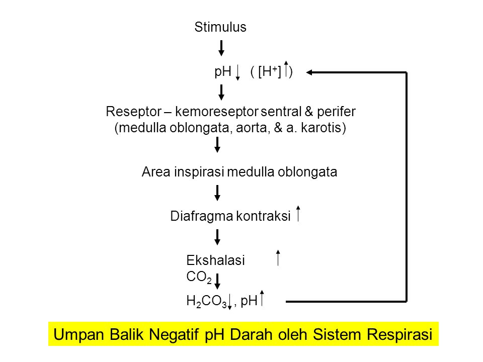 Stimulus pH ( [H + ] ) Reseptor – kemoreseptor sentral & perifer (medulla oblongata, aorta, & a.