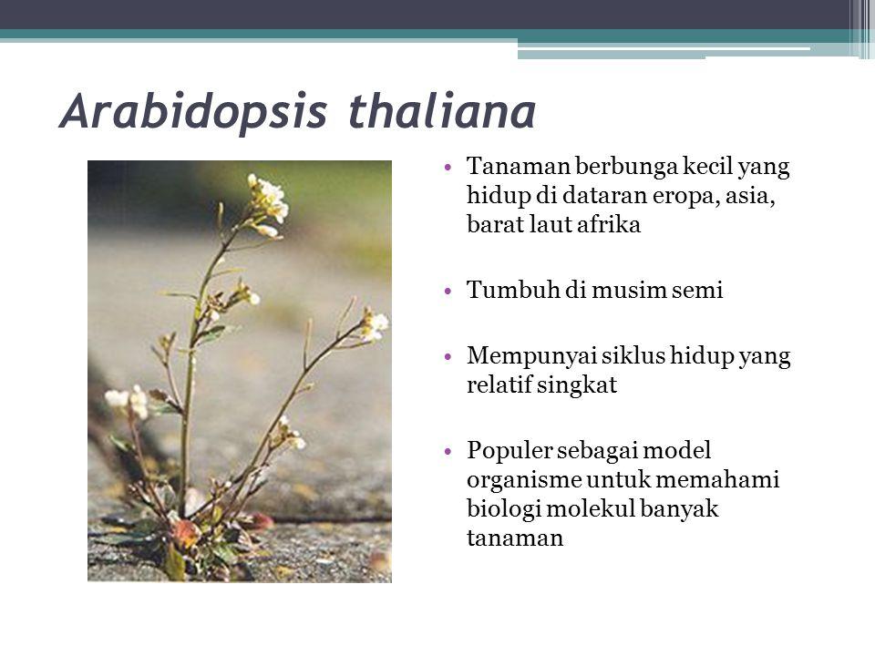 Arabidopsis thaliana Tanaman berbunga kecil yang hidup di dataran eropa, asia, barat laut afrika Tumbuh di musim semi Mempunyai siklus hidup yang rela