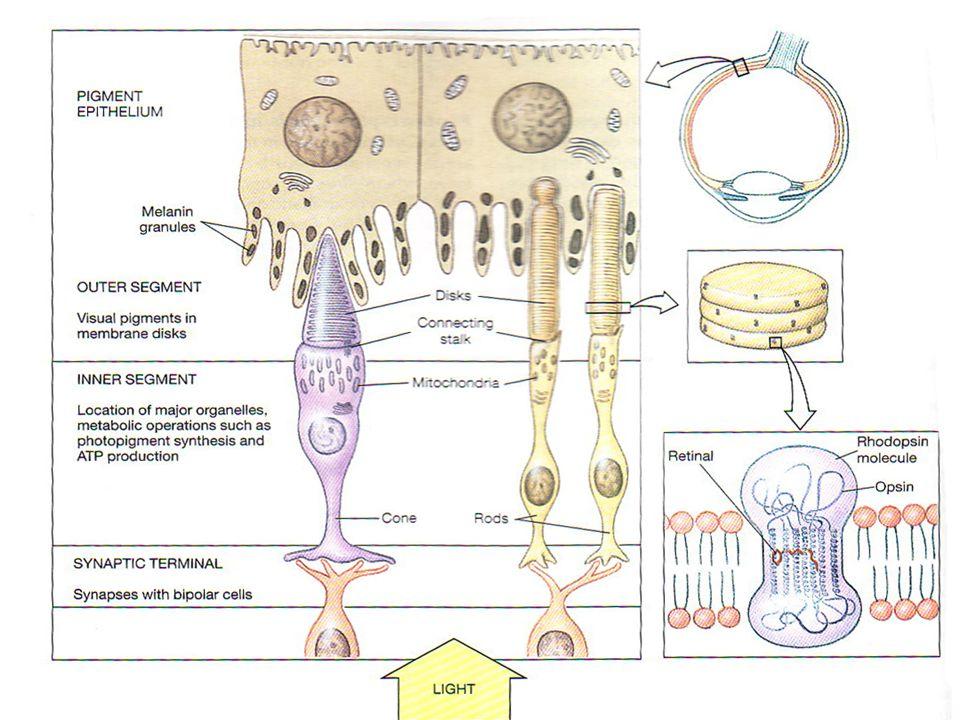 Sel batang maupun sel kerucut terdiri dari 3 segmen utama, yaitu : Segmen luar, berhubungan dengan lapisan pigmen retina. Di dalamnya terdiri dari rat