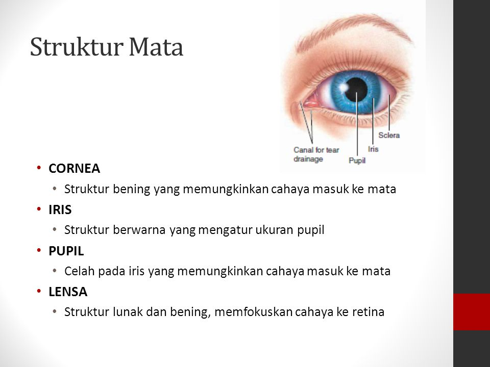 Struktur Mata CORNEA Struktur bening yang memungkinkan cahaya masuk ke mata IRIS Struktur berwarna yang mengatur ukuran pupil PUPIL Celah pada iris yang memungkinkan cahaya masuk ke mata LENSA Struktur lunak dan bening, memfokuskan cahaya ke retina