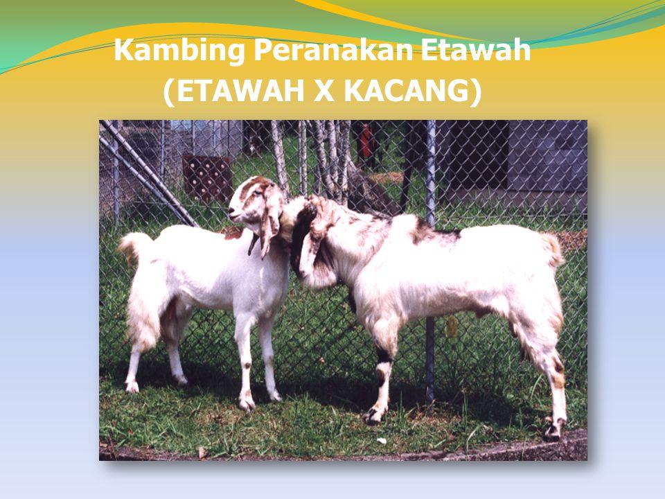 Kambing Peranakan Etawah (ETAWAH X KACANG)
