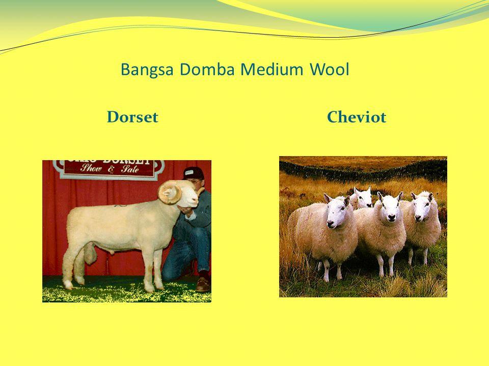 Bangsa Domba Medium Wool Dorset Cheviot