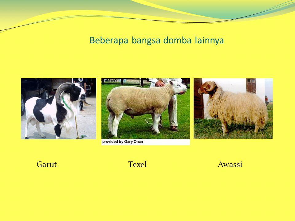 Beberapa bangsa domba lainnya Garut Texel Awassi
