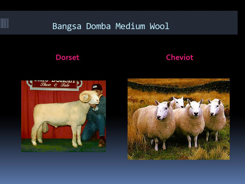 Bangsa Domba Medium Wool DorsetCheviot
